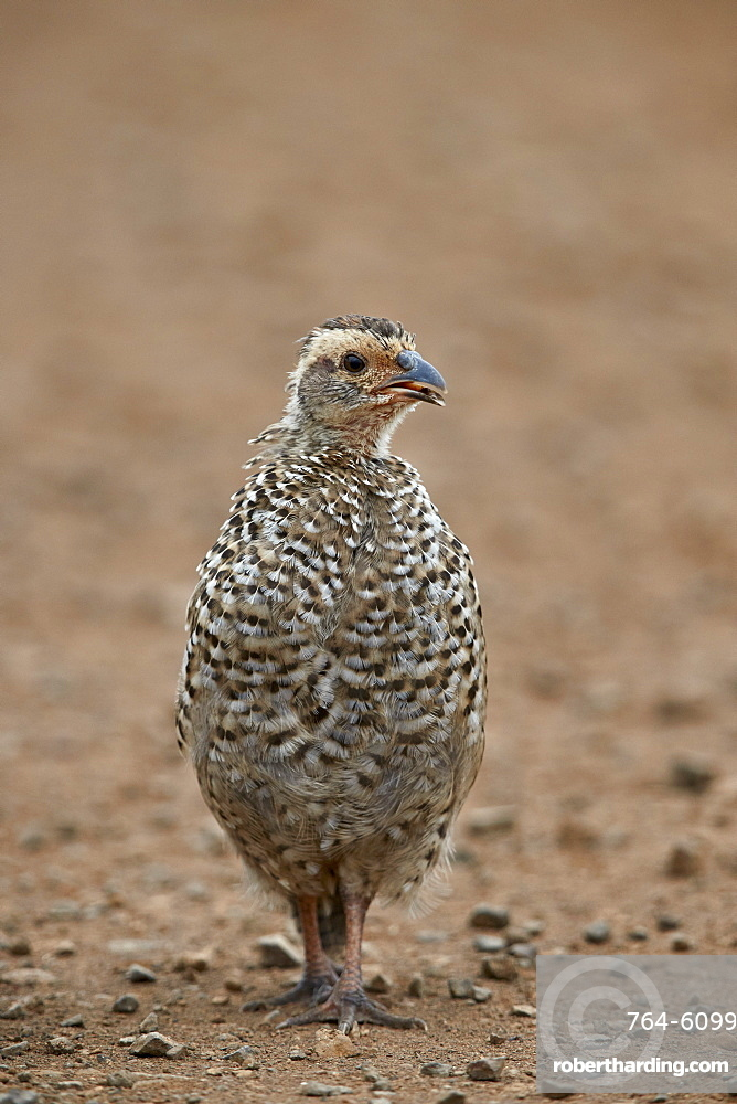 Red-necked Spurfowl (Red-necked Francolin) (Francolinus afer) (Pternistes afer) chick, Kruger National Park, South Africa, Africa