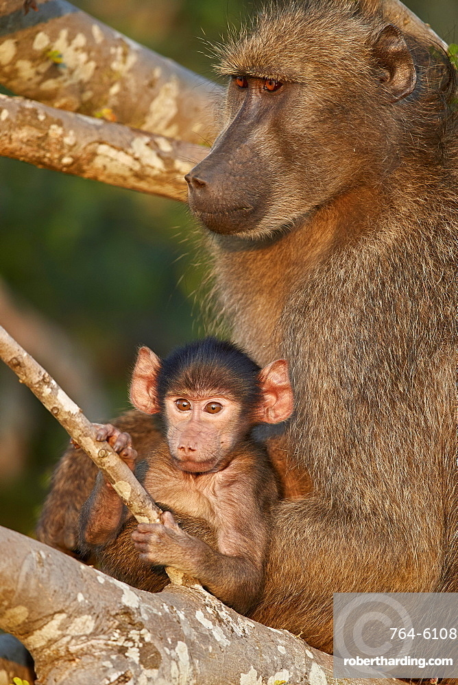 Chacma Baboon (Papio ursinus) mother and infant, Kruger National Park, South Africa
