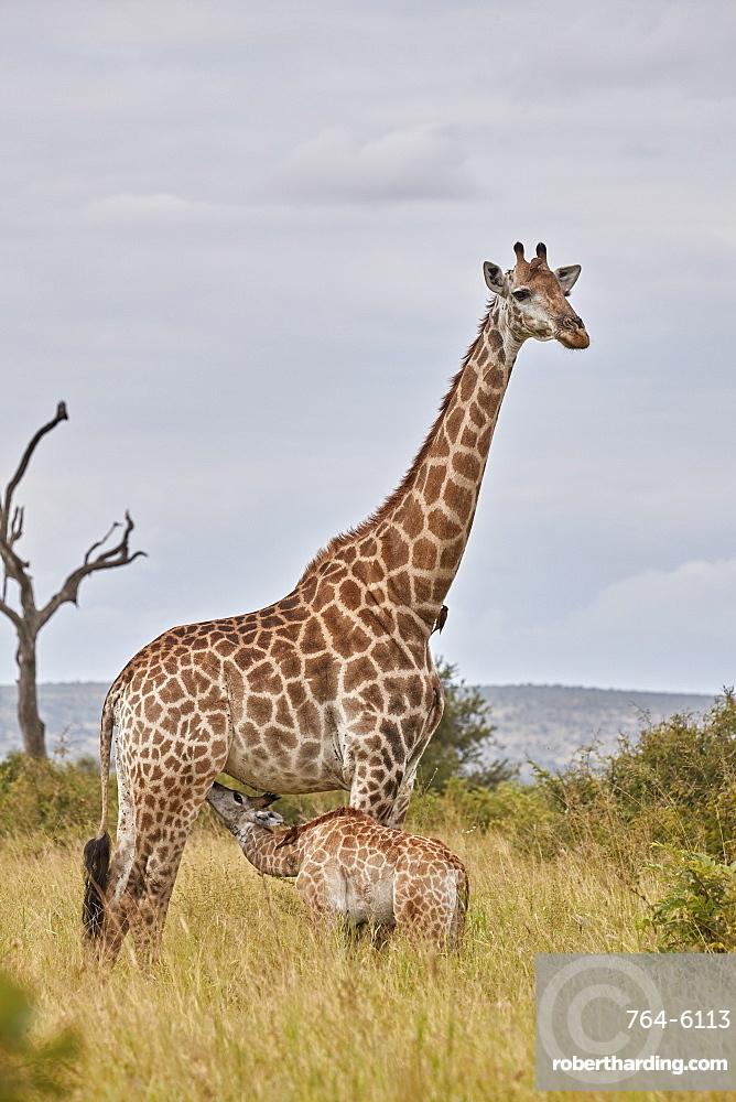 Cape Giraffe (Giraffa camelopardalis giraffa) baby nursing, Kruger National Park, South Africa