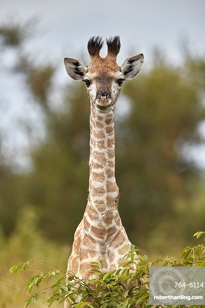 Cape Giraffe (Giraffa camelopardalis giraffa) baby, Kruger National Park, South Africa, Africa