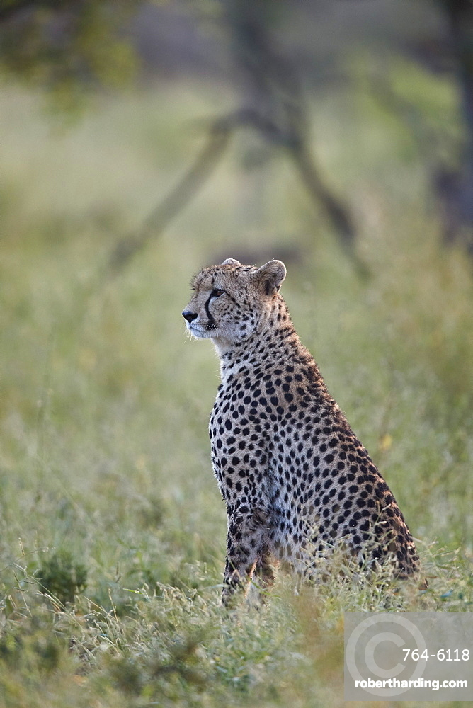 Cheetah (Acinonyx jubatus), Kruger National Park, South Africa, Africa