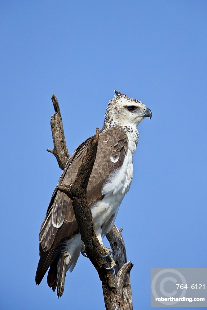 Martial Eagle (Polemaetus bellicosus), juvenile, Kruger National Park, South Africa, Africa