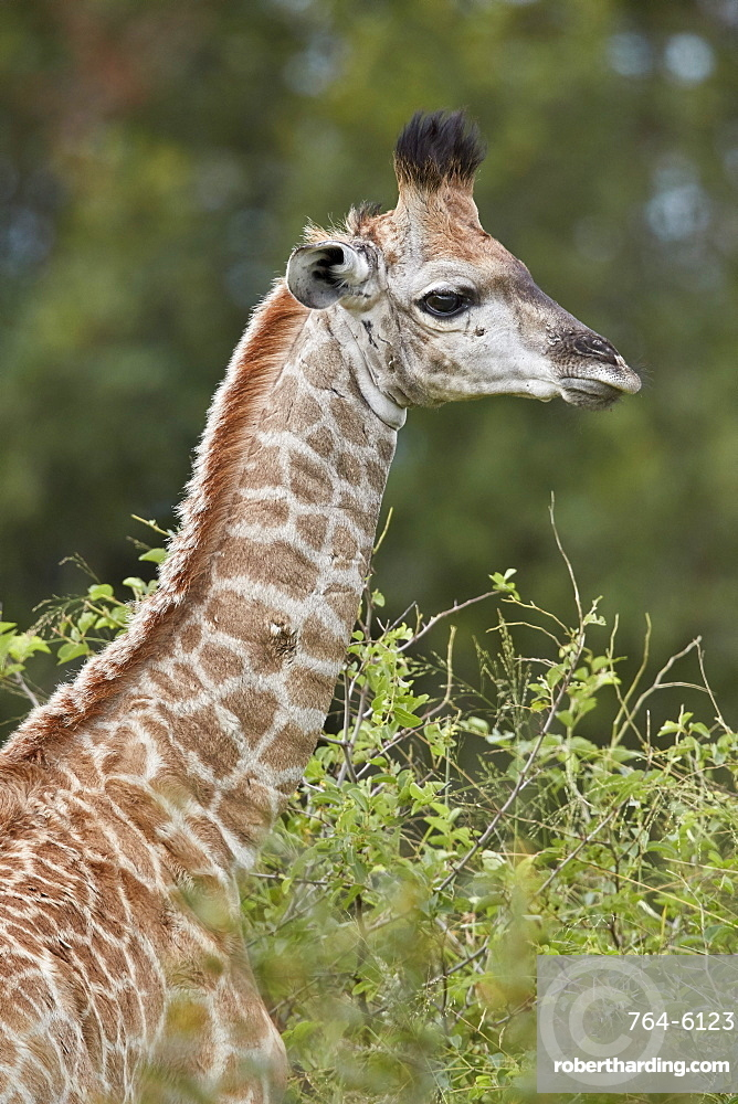 Cape Giraffe (Giraffa camelopardalis giraffa) baby, Kruger National Park, South Africa
