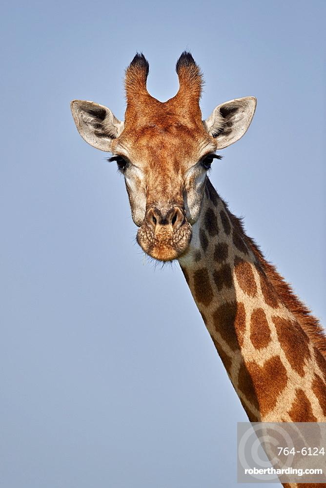 Cape Giraffe (Giraffa camelopardalis giraffa), Kruger National Park, South Africa