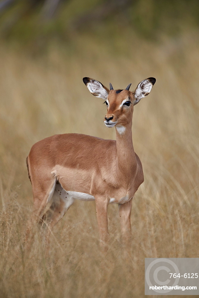 Impala (Aepyceros melampus), juvenile male, Kruger National Park, South Africa, Africa