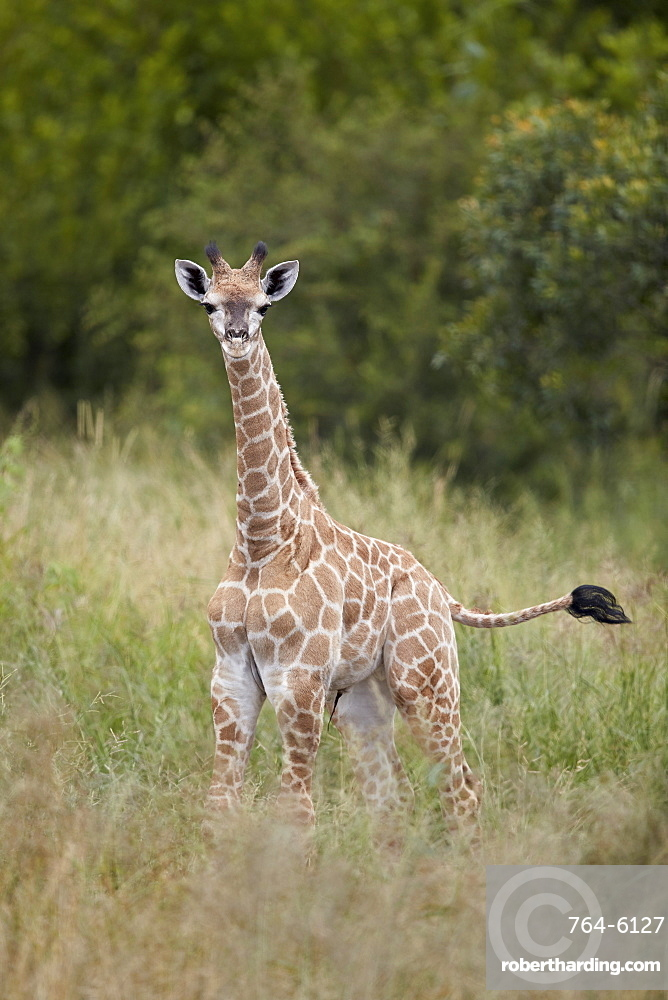 Baby Cape Giraffe (Giraffa camelopardalis giraffa), Kruger National Park, South Africa