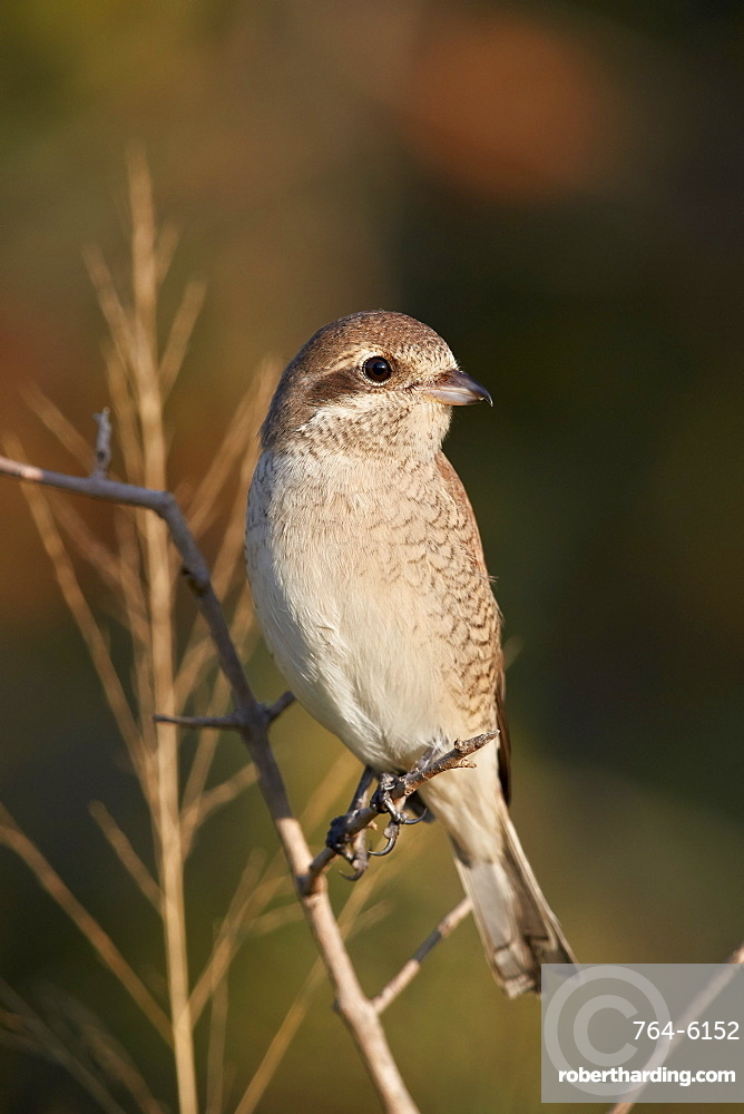 Red-backed Shrike (Lanius collurio), female, Kruger National Park, South Africa, Africa