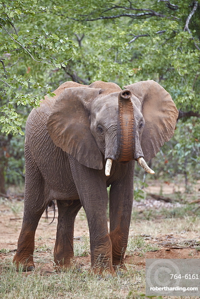 African Elephant (Loxodonta africana) with its trunk raised, Kruger National Park, South Africa