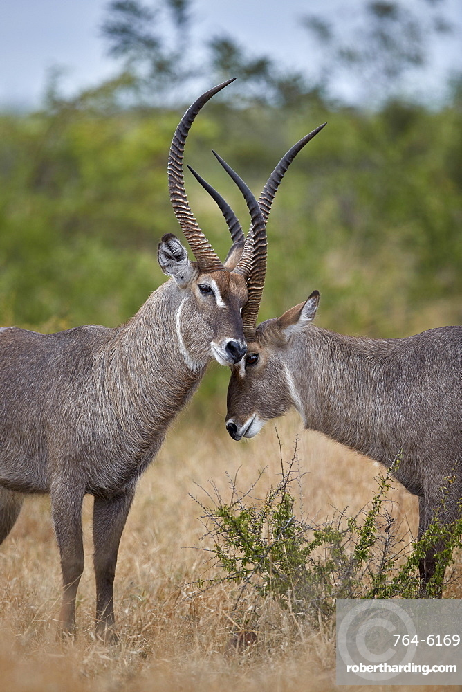 Two Common Waterbuck (Kobus ellipsiprymnus ellipsiprymnus) bucks greeting each other, Kruger National Park, South Africa, Africa