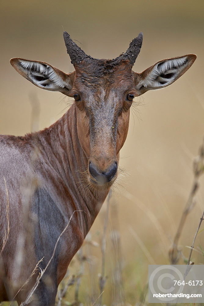 Topi (Tsessebe) (Damaliscus lunatus) calf, Kruger National Park, South Africa, Africa