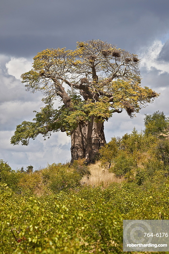 Baobab (Adansonia digitata), Kruger National Park, South Africa, Africa
