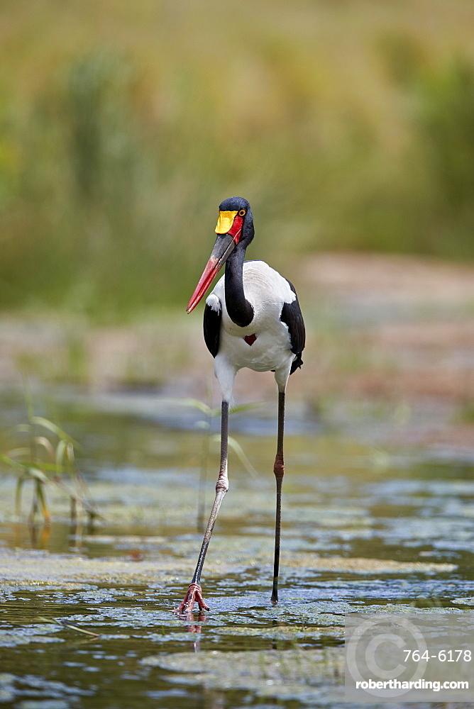 Saddle-billed Stork (Ephippiorhynchus senegalensis), female, Kruger National Park, South Africa, Africa