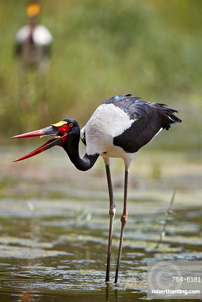 Saddle-billed Stork (Ephippiorhynchus senegalensis), female flipping a fish, Kruger National Park, South Africa, Africa