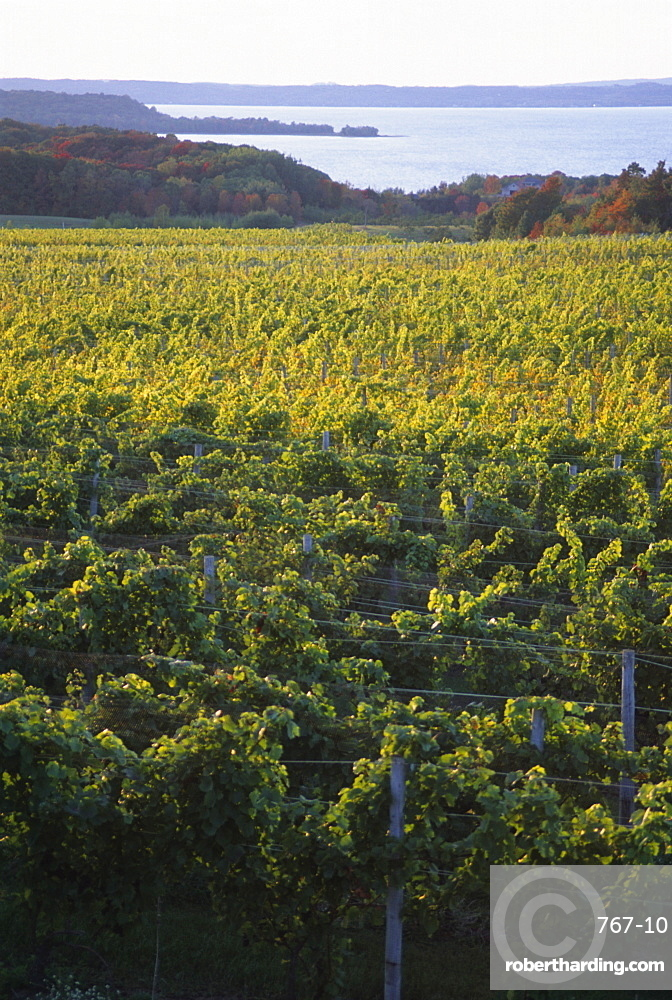 Vineyards near Traverse City, Michigan, United States of America, North America