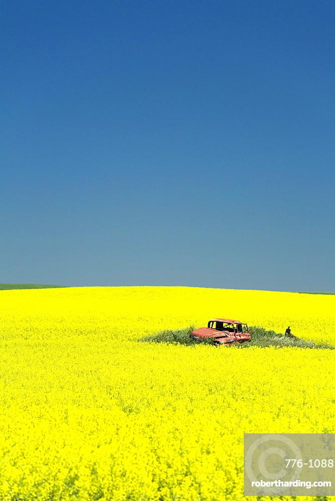 Field of canola on the Enchanted Highway, Regent, North Dakota, United States of America, North America