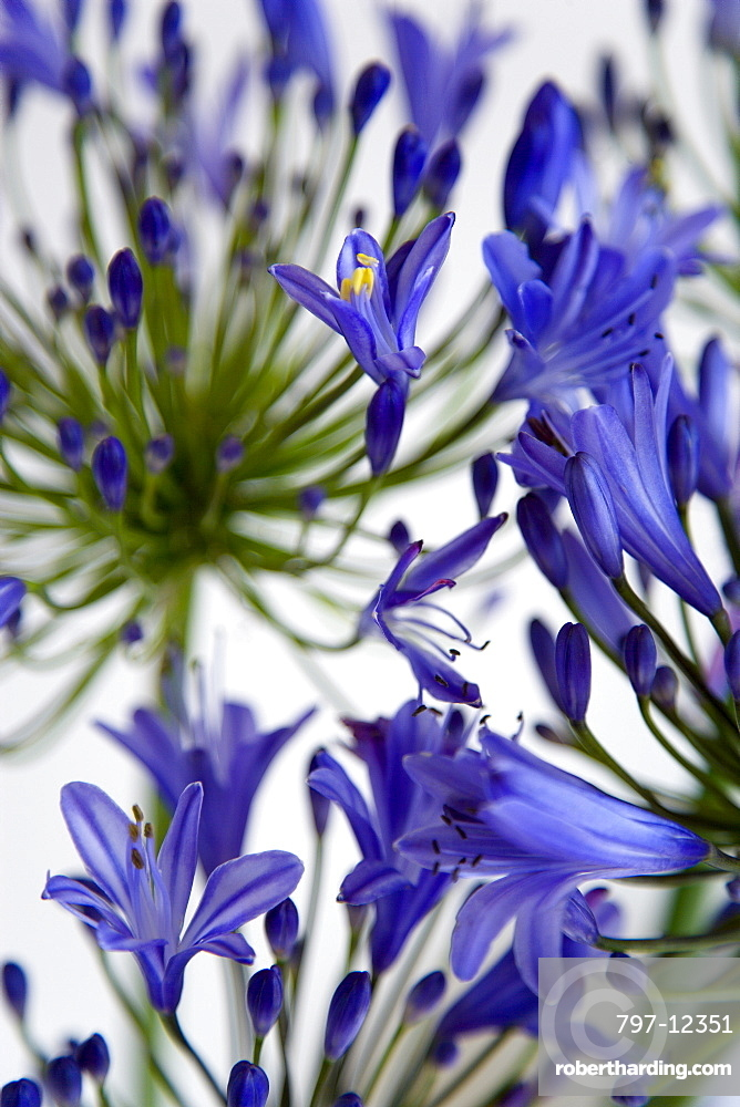 African lily, Agapanthus, purple flowers on an umbel shaped flowerhead against a white background.