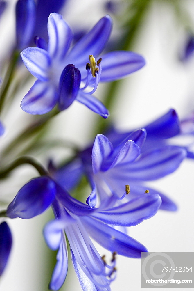 African lily agapanthus purple flowers stock photo african lily agapanthus purple flowers with prominent yellow stamen against a white background mightylinksfo