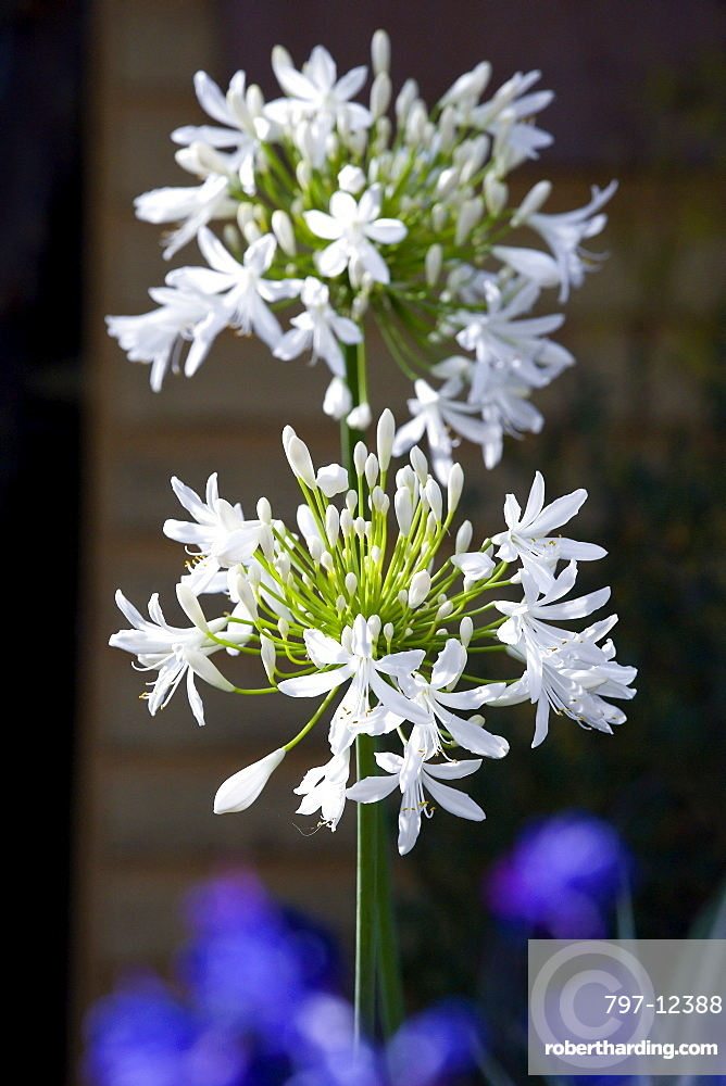 African lily, Agapanthus, white flowers emerging on an umbel shaped flowerhead.