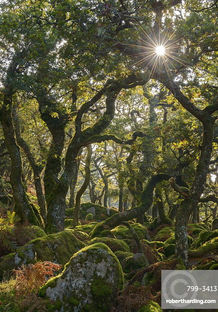 Sunshine radiates through Black a Tor copse, an ancient oak woodland on Dartmoor's high moorland, Devon, England, United Kingdom, Europe