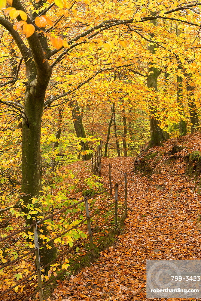Footpath through autumnal woodland, Stock Ghyll Woods near Ambleside, Lake District, Cumbria, England, United Kingdom, Europe