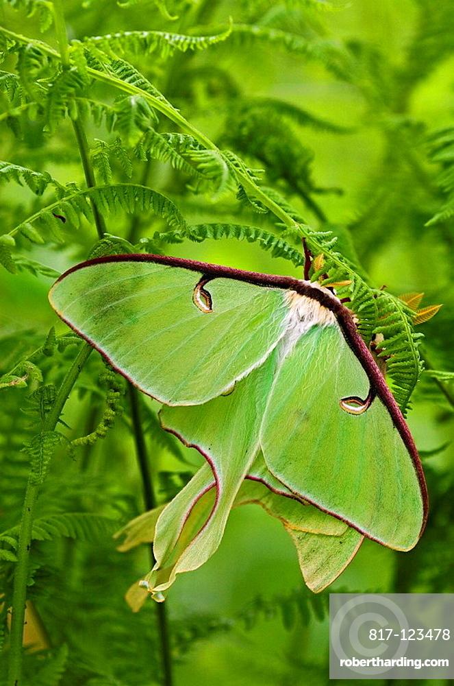 Luna moth (Actias luna), mating pair among hay-scented ferns