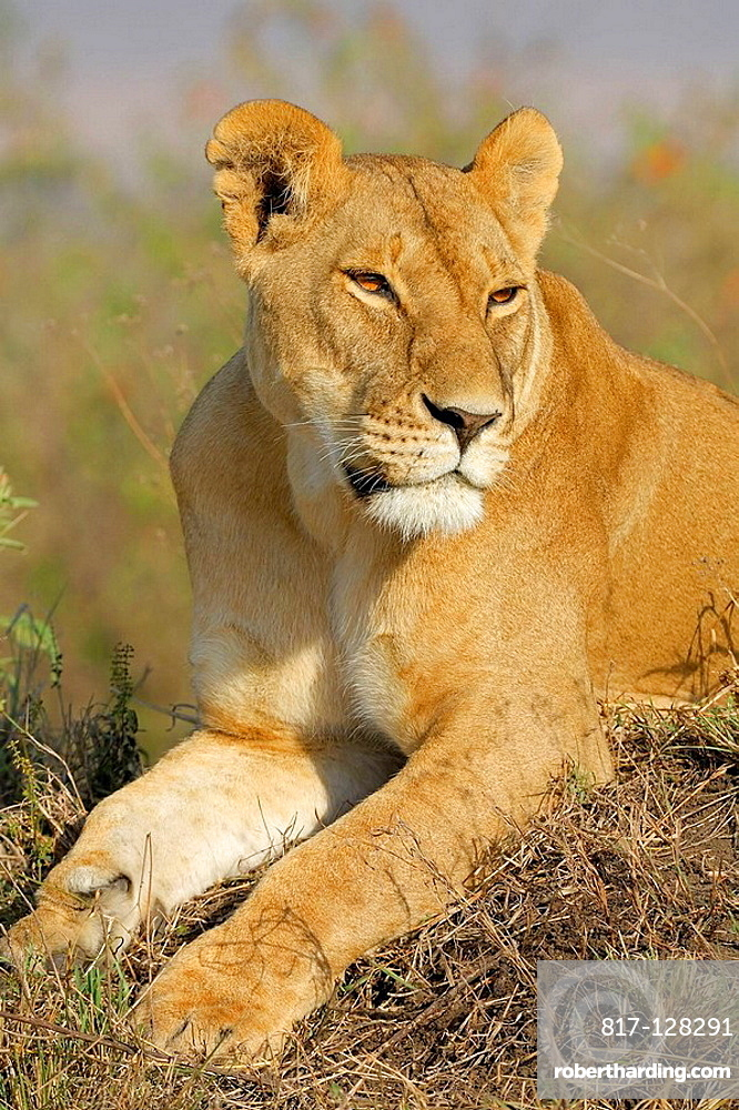 Lioness Panthera Leo Resting On Stock Photo