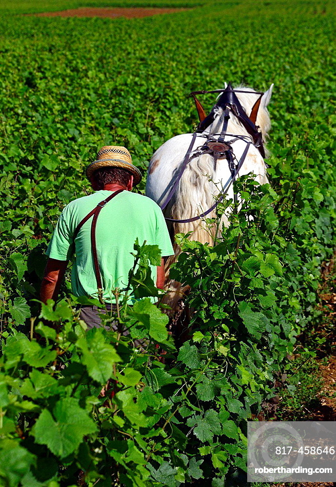 plowing in vineyards with help of horse, Beaune, Department of Cote d'Or, Burgundy, France, Europe.