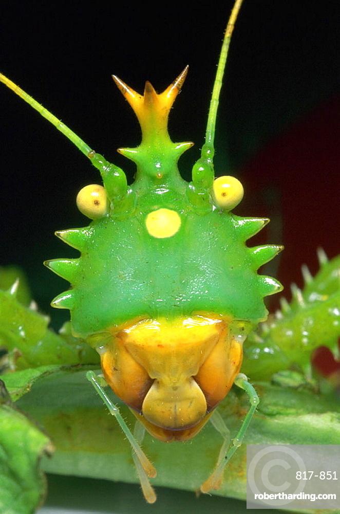 Spiny Katydid (Panacanthus cuspidatus)