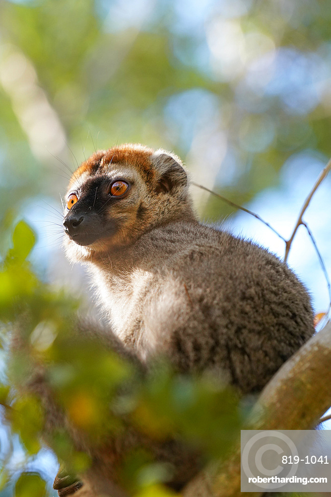 Red-fronted lemur (Eulemur rufifrons) male, Reserve Forestiere de Kirindy, Kirindy Forest, Western Madagascar, Africa