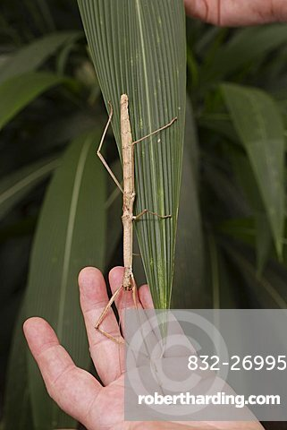 Red-winged Stick Insect (Phaenopharos khaoyaiensis)