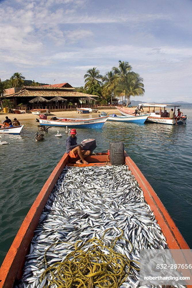 Large catch of sardines, Santa Fe, Sucre, Venezuela, South America