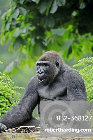 Western Lowland Gorilla (Gorilla gorilla gorilla), male, native to Africa, in captivity, Netherlands, Europe