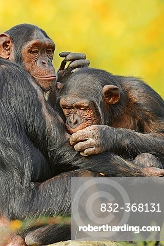 Chimpanzees (Pan troglodytes) during mutual grooming, native to Africa, in captivity, Germany, Europe
