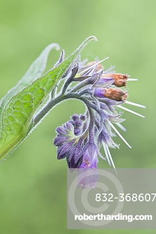 Comfrey (Symphytum officinale), Bargerveen, Drenthe, The Netherlands, Europe