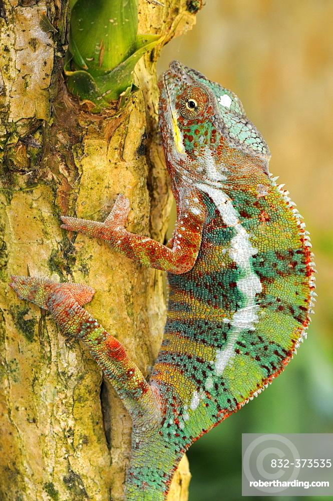 Panther Chameleons (Furcifer pardalis), male, climbing a tree trunk, Madagascar, Africa