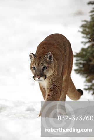 Cougar (Felis concolor), adult, foraging, snow, winter, Montana, USA