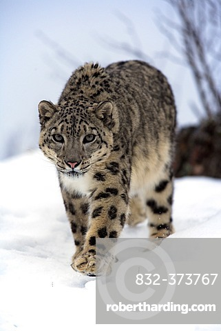 Snow leopard (Uncia uncia), adult, walking, snow, winter, Asia