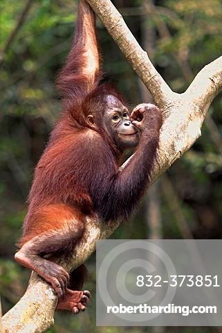 Orangutan (Pongo pygmaeus), half-grown young climbing tree, Sabah, Borneo, Malaysia, Asia