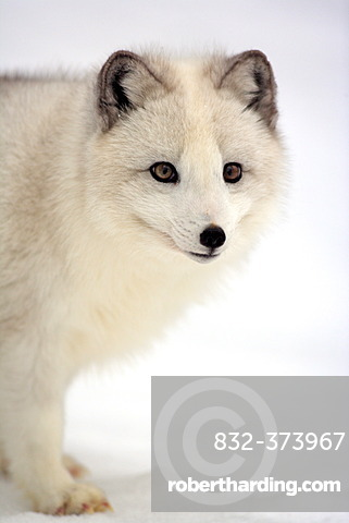 Arctic fox, white fox, polar fox or snow fox (Vulpes lagopus formerly Alopex lagopus), adult, foraging for food in the snow, Montana, North America, USA
