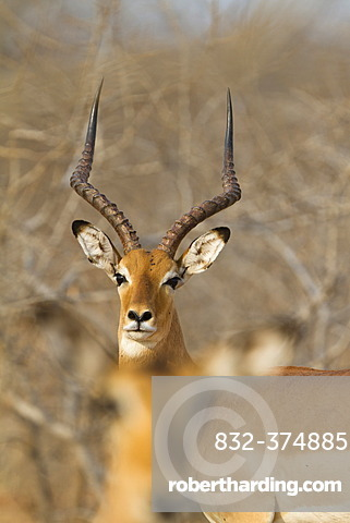 Impala (Aepyceros melampus), Ruaha National Park, Tanzania, East Africa, Africa