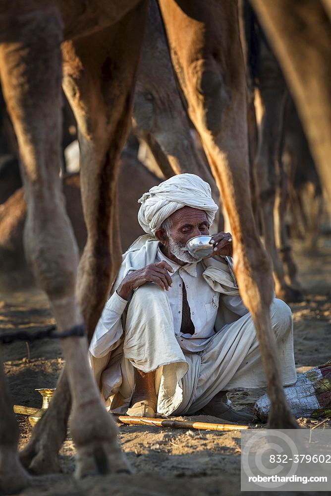 A man having a drink among his camels, Pushkar Camel Fair, Pushkar, Rajasthan, India, Asia