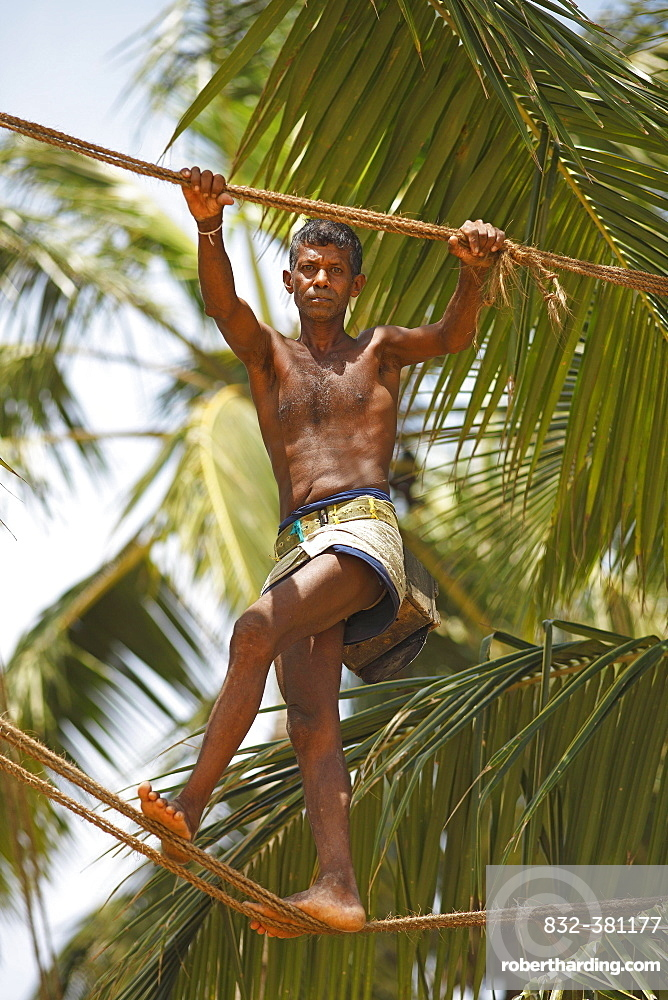 Toddy Tapper balancing on rope between coconut trees and collecting palm juice, Wadduwa, Western Province, Ceylon, Sri Lanka, Asia