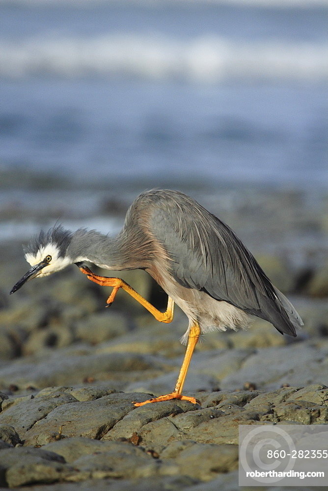 White-faced Heron on rock, Kaikoura New Zeland