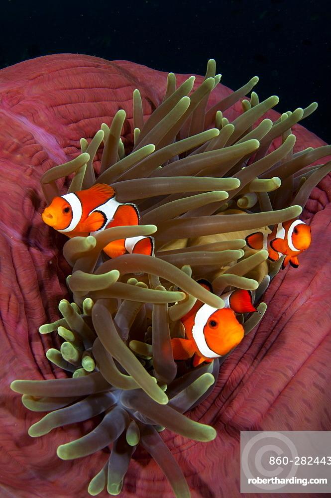 False clownfish in magnificent anemone, Komodo Indonesia