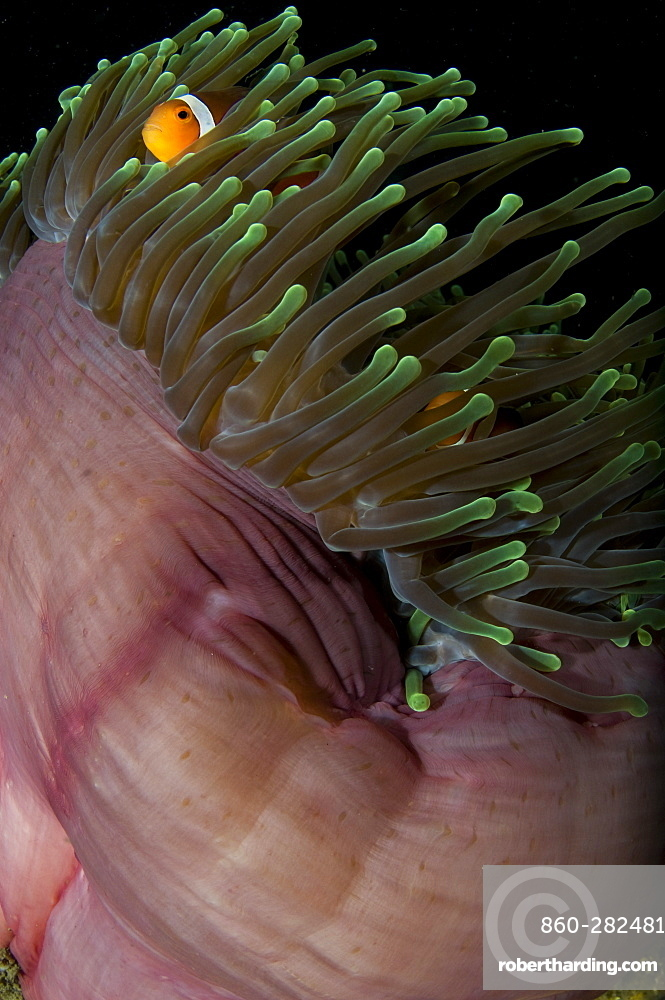 False clown anemonefish, Lembeh Strait  Indonesia