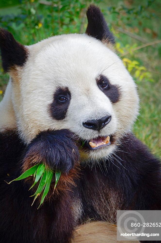 Giant panda eating bamboo, Zoo Parc de Beauval France