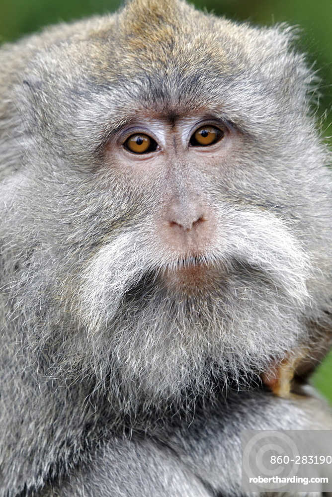 Portrait of Long-tailed macaque female and young, Indonesia