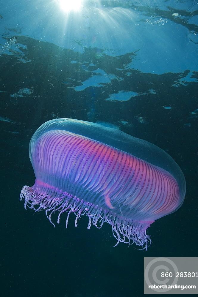 Lions mane jellyfish, Poor knights Island New Zealand
