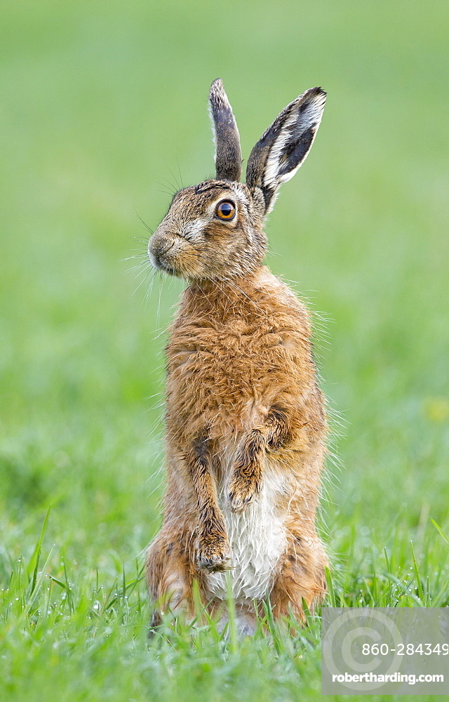 Brown Hare standing in a meadow at spring, GB