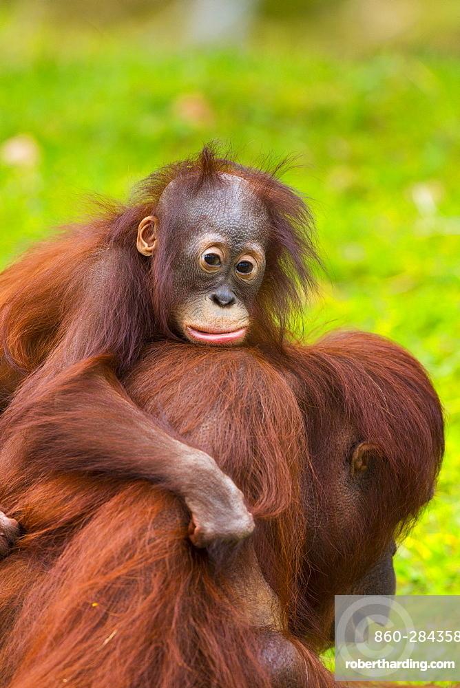 Bornean Orang-utan female and young